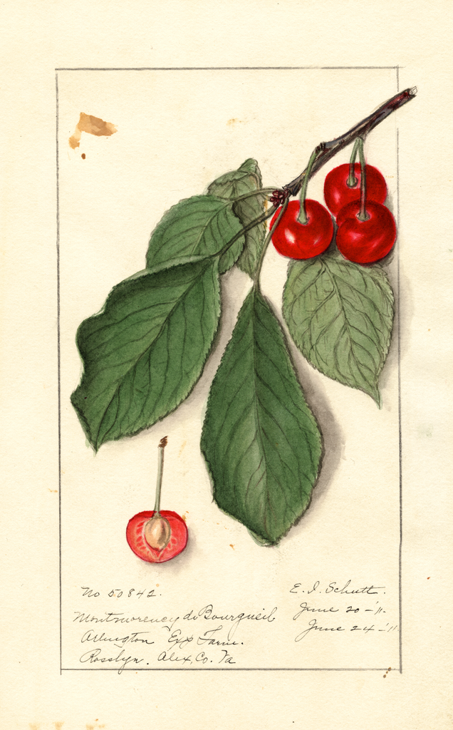 Cherries, Montmorency De Bourgueil (1911)