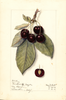 Cherries, Montmorency De Mezel (1914)