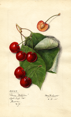 Cherries, Reine Hortense (1915)