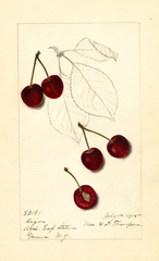 Cherries, Riga (1915)