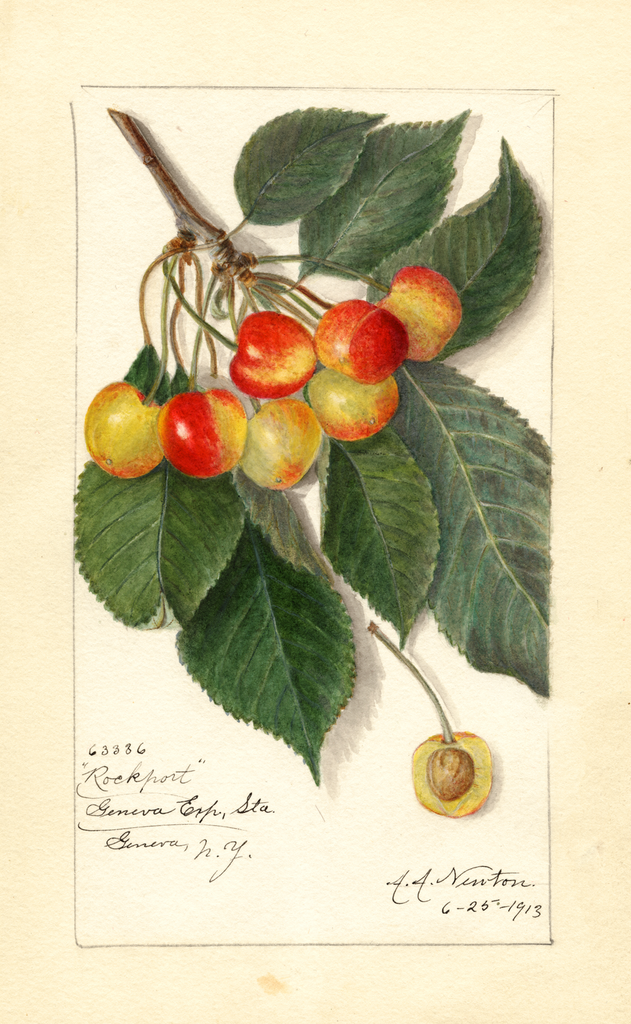 Cherries, Rockport (1913)