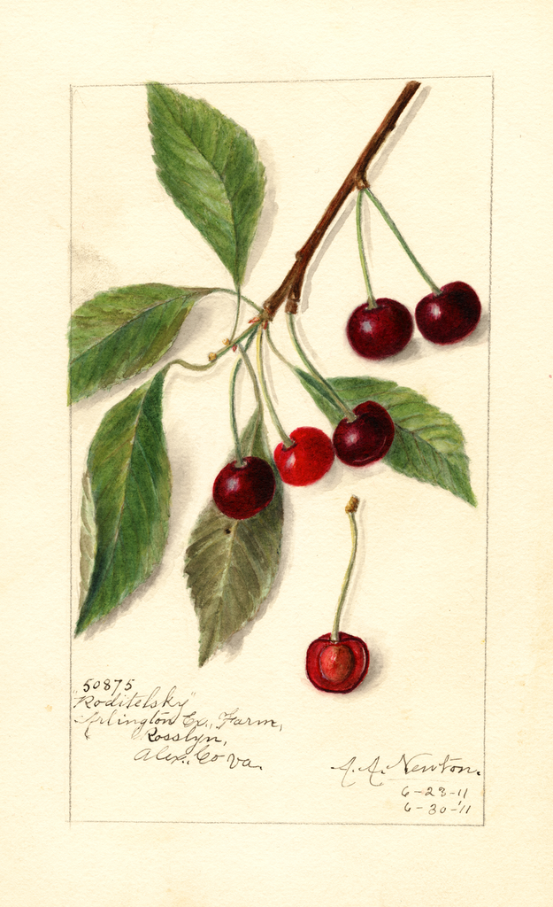 Cherries, Roditelsky (1911)