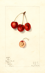 Cherries, Roe (1911)