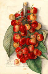Cherries, Royal Anne (1911)