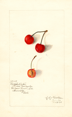 Cherries, Royal Duke (1910)