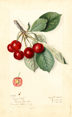 Cherries, Royal Duke (1911)