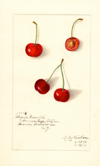 Cherries, Royal Novelle (1911)