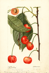 Cherries, Rupp (1896)