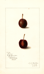 Cherries, Safra (1909)