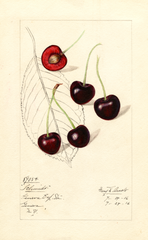 Cherries, Schmidt (1916)