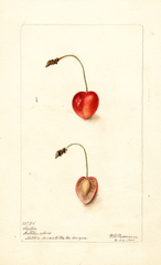 Cherries, Shelton (1901)