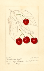 Cherries, Short Stemmed Montmorency (1915)