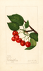 Cherries, Sidney (1922)
