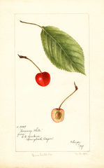 Cherries, Socsany White (1897)