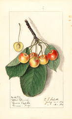 Cherries, Yellow Spanish (1912)