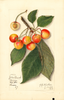 Cherries, Yellow Spanish (1913)