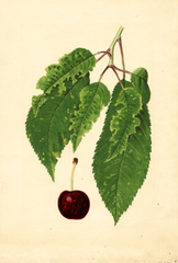 Cherries, Bing (1935)