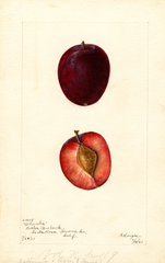 Plums, Alhambra (1901)