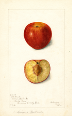 Plums, All Fruit (1901)