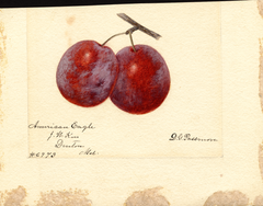 Plums, American Eagle