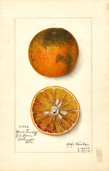 Oranges, Blood Tardiff (1912)