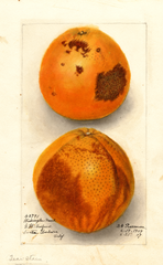 Oranges, Washington Navel (1909)