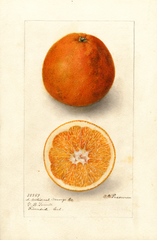 Oranges, Washington Navel (1906)