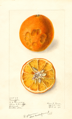 Oranges, Pineapple (1911)