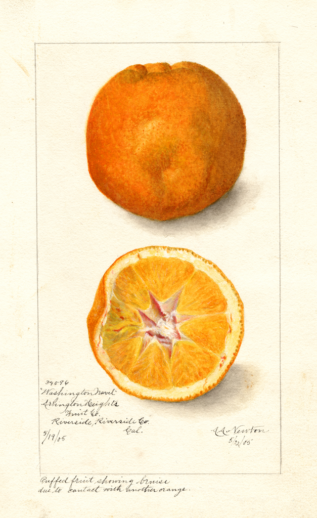 Oranges, Washington Navel (1905)