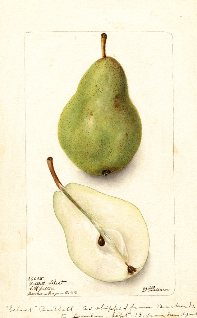 Pears, Bartlett Select