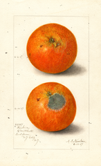 Oranges, Washington Navel (1907)