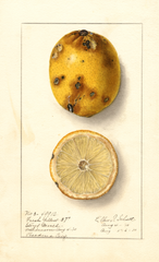 Lemons, Fresh Yellow (1910)