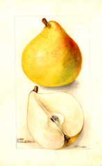 Pears, Beurre Baltet (1901)