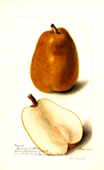 Pears, Beurre D' Hiver (1898)