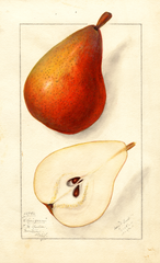Pears, Clairgeau (1911)