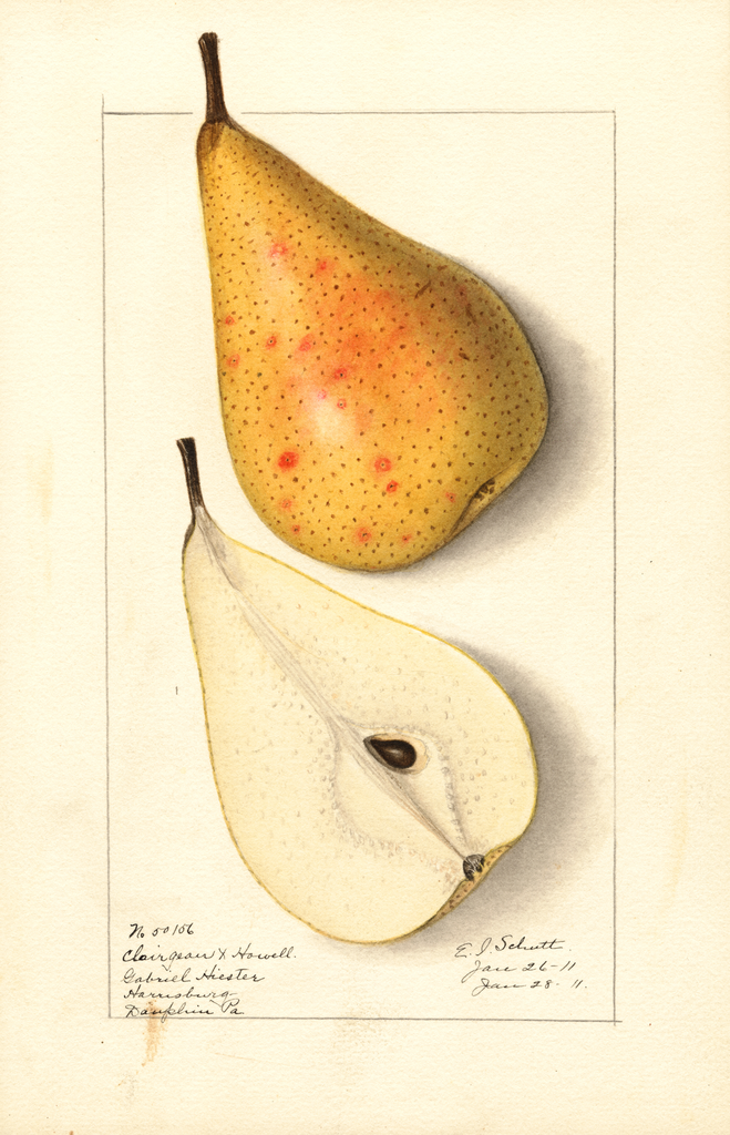 Pears, Clairgeau X Howell (1911)