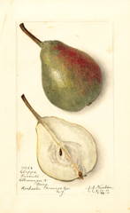 Pears, Clapps Favorite (1911)
