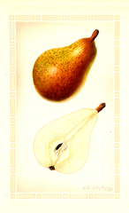 Pears, Clairgeau (1927)