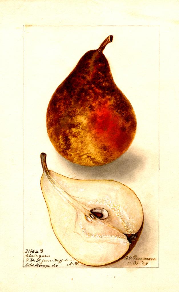 Pears, Clairgeau (1904)