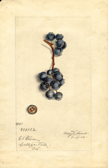 Blueberries, No. 837 (1915)