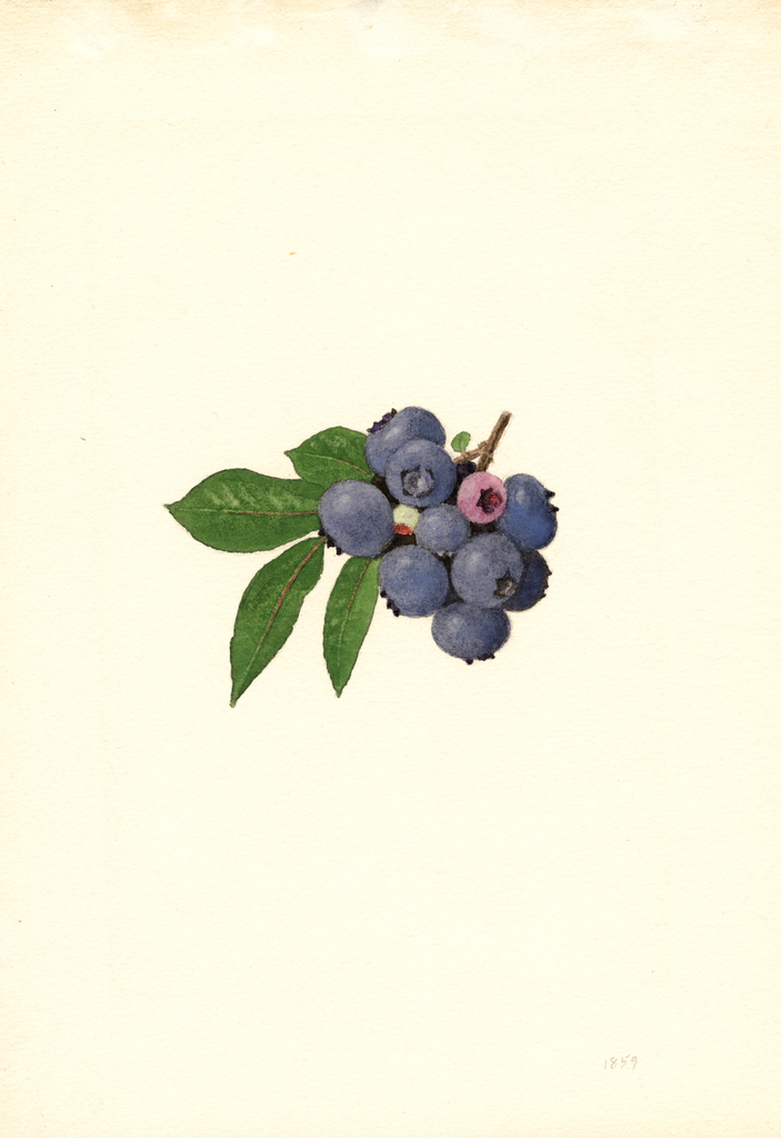 Blueberries, Weymouth (1940)
