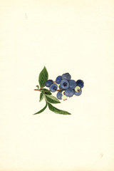 Blueberries, Brooks (1940)