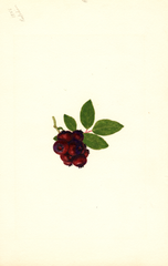 Blueberries, Redskin (1940)