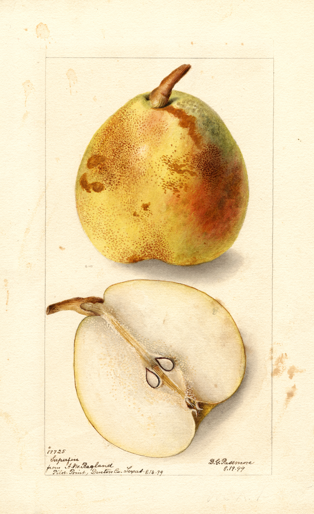 Pears, Superfine (1899)