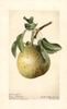 Pears, Superfine (1919)
