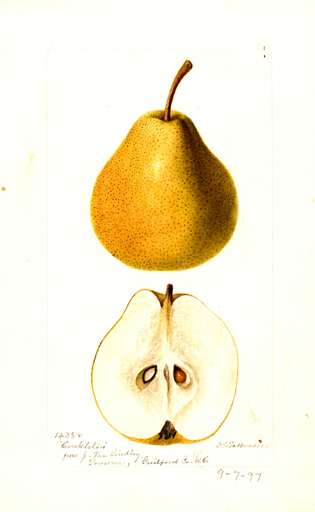 Pears, Conkleton (1897)