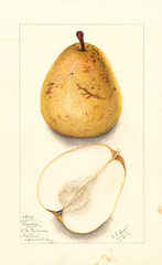 Pears, Coreless (1911)