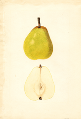 Pears, Early Bartlett (1936)