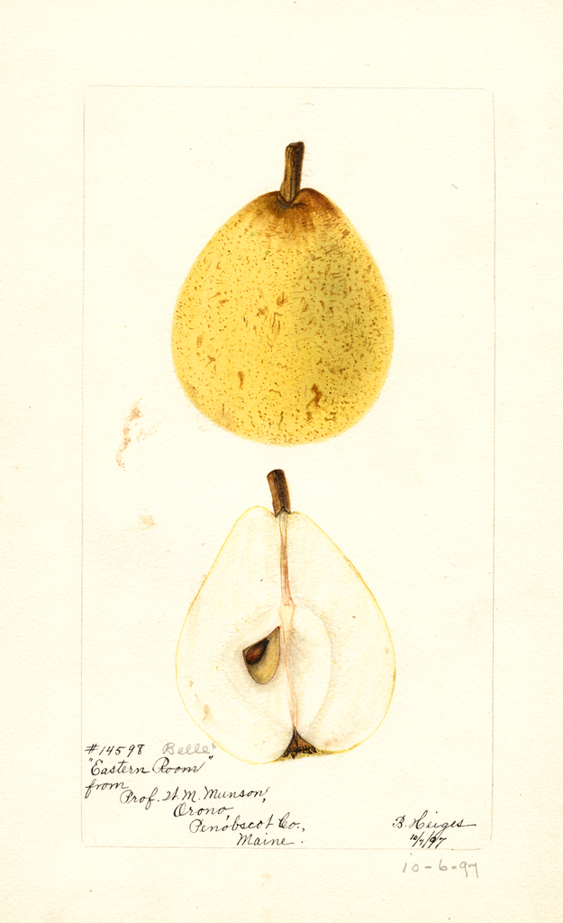 Pears, Eastern Belle (1897)