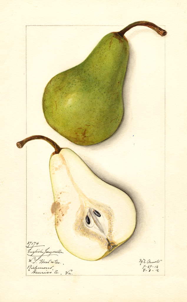 Pears, English Jargonelle (1912)